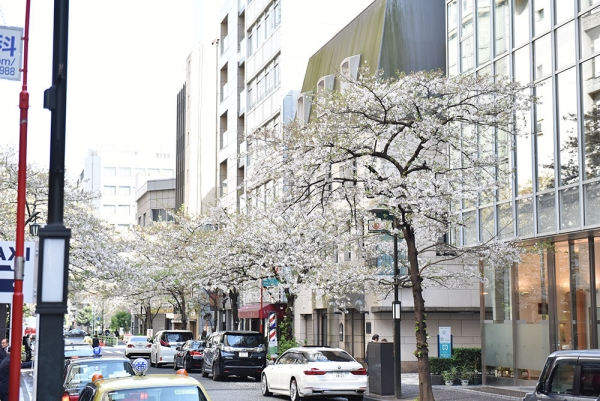 Cherry blossom in front of Kochukyo, April 14